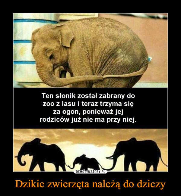 Dzikie zwierzęta należą do dziczy –  Ten słonik został zabrany dozoo z lasu i teraztrzyma sięza ogon, ponieważ jejrodziców już nie ma przy niej.