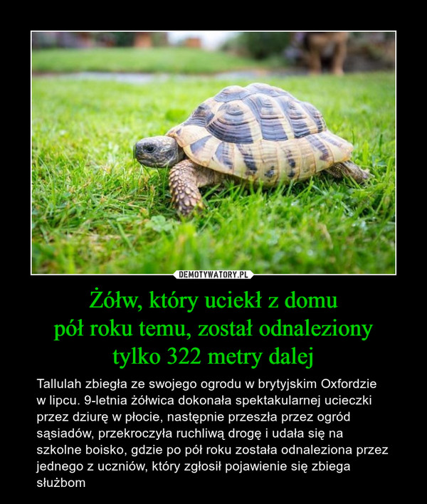 Żółw, który uciekł z domupół roku temu, został odnalezionytylko 322 metry dalej – Tallulah zbiegła ze swojego ogrodu w brytyjskim Oxfordzie w lipcu. 9-letnia żółwica dokonała spektakularnej ucieczki przez dziurę w płocie, następnie przeszła przez ogród sąsiadów, przekroczyła ruchliwą drogę i udała się na szkolne boisko, gdzie po pół roku została odnaleziona przez jednego z uczniów, który zgłosił pojawienie się zbiega służbom