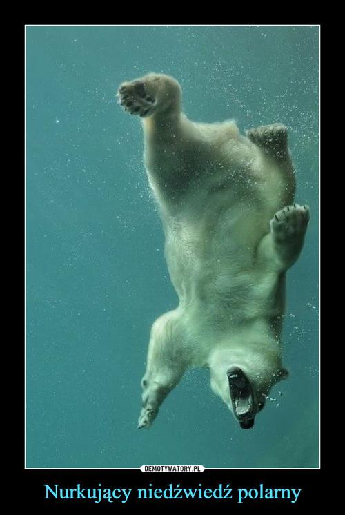 Nurkujący niedźwiedź polarny