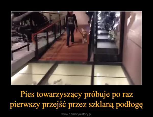 Pies towarzyszący próbuje po raz pierwszy przejść przez szklaną podłogę –