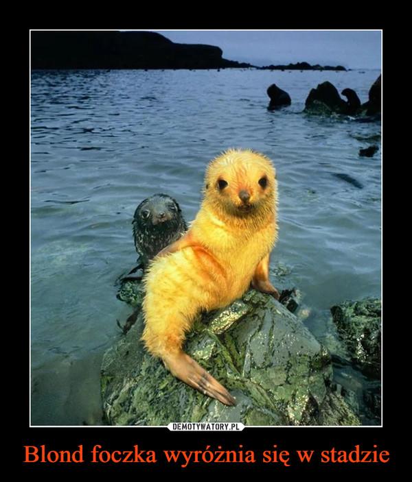 Blond foczka wyróżnia się w stadzie –