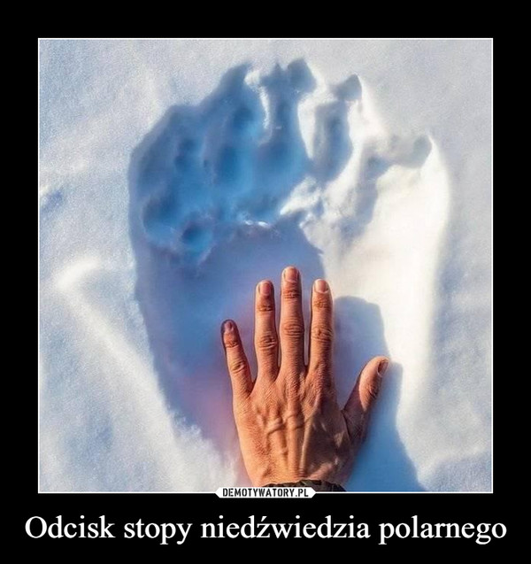 Odcisk stopy niedźwiedzia polarnego –